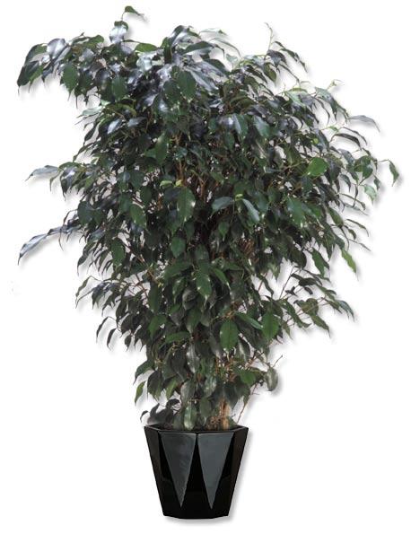 Ficus benjamina -bush