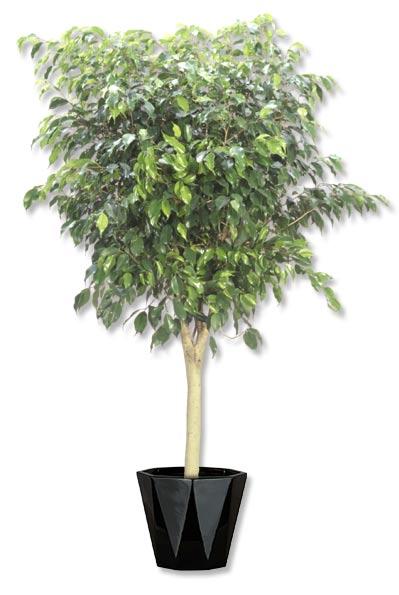 Ficus Benjamina -std