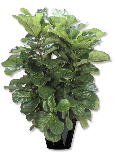Ficus Lyrata -bush