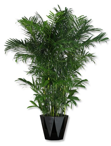 Seifrizii Bamboo palm