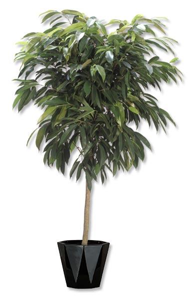 Ficus Amstel king