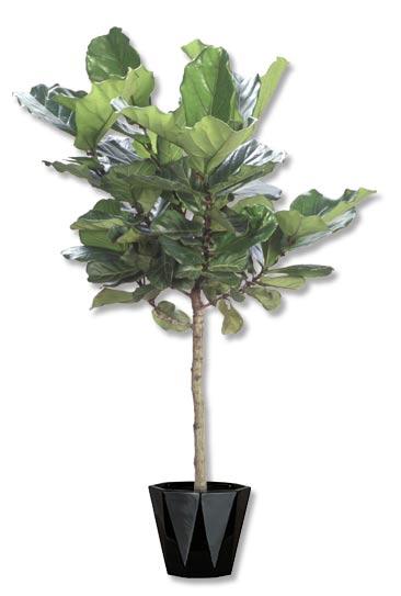 Ficus Lyrata -std